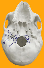 Figure 1: The Human Skull Base