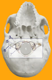 Figure 2: SKULL BASE with ATLAS OVERLAY